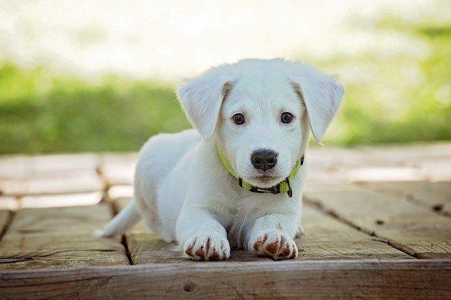 piometrul canin